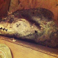 Looks like a fisher skull at the cottage